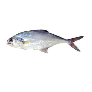 ماهی سارم | فروشگاه آژنو