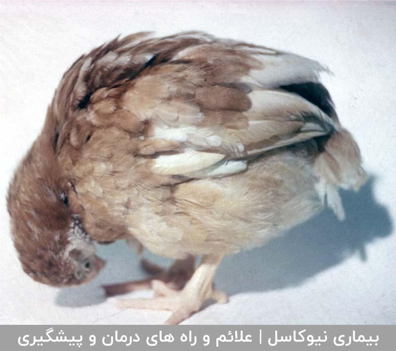 فروشگاه آژنو دام, طیور و آبزیان  Image of  نیوکاسل در بین پرندگان