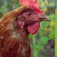 مرغ های نژاد بومی به دلیل مقاومت در برابر بیماری های شناخته شده و سازگاری آنها با آب و هوای مختلف در اکثر مناطق پرورش داده میشوند. در حوزه پرورش مرغ بومی و یا سایر طیور، توجه به سلامت آنها بسیار اهمیت دارد. زیرا طیور بومی به شدت در معرض بیماری های مختلف می باشند. لذا ضروری است که پرورش دهنده نکات بهداشتی را رعایت نموده و با شناخت بیماری های مختلف اقدامات پیشگیرانه را انجام دهد.