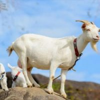 بیماری عضله سفید در گوسفند و بز