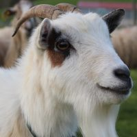 اسیدوز در گوسفند و بز (شناخت، تشخیص، پیشگیری و درمان)