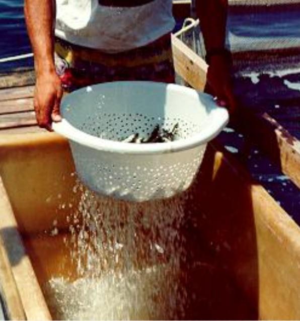 واکسن ماهی واکسن ماهی به روش غوطه وری