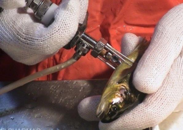 تزریق ،واکسیناسیون ماهی