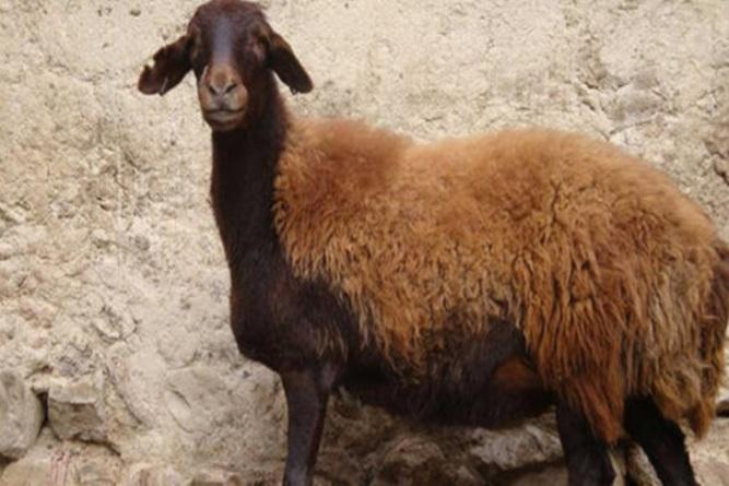 نفخ گوسفند ، پیشگیری ، تشخیص و درمان