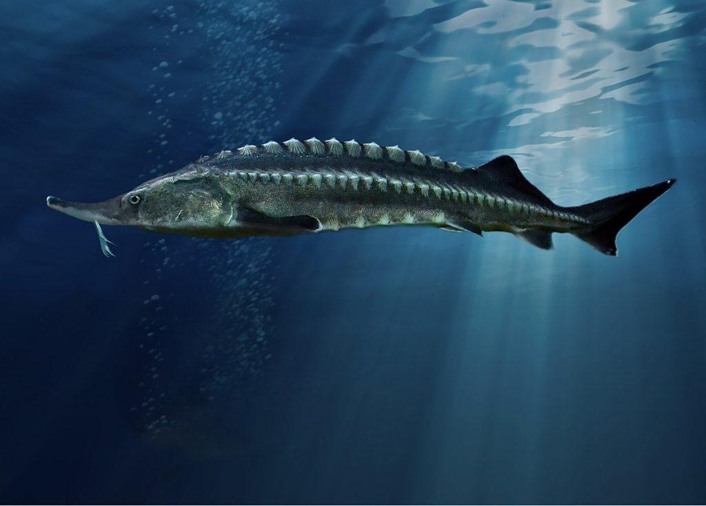 Beluga_sturgeon11فیل ماهی (بلوگا) خاویاری