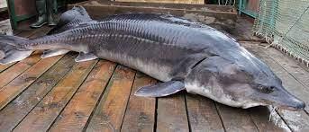 Beluga_sturgeon22فیل ماهی (بلوگا) خاویاری