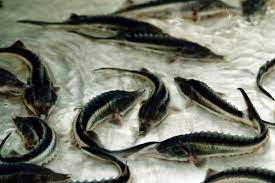 Beluga_sturgeon33فیل ماهی (بلوگا) خاویاری