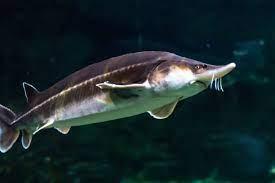 Beluga_sturgeon4فیل ماهی (بلوگا) خاویاری