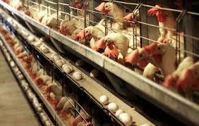 بزرگترین تولیدکننده تخم مرغ جهان