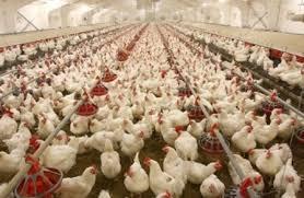 بزرگترین تولیدکننده مرغ جهان