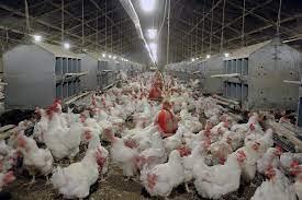 بزرگترین تولیدکننده مرغ کشور