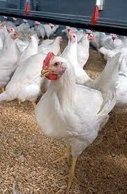 قیمت مرغ زنده