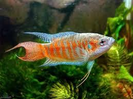 پرورش ماهی زینتی در خانه