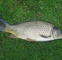 پرورش ماهی کپور در خانه