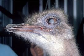 عفونت چشم ها در شترمرغ