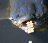 کربوهیدرات در تغذیه آبزیان