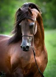 اسب عربی