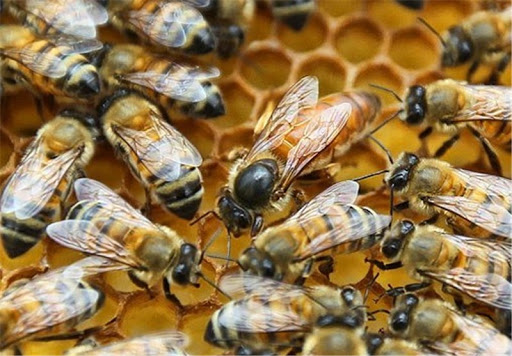 انواع نژاد زنبور