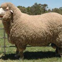 بهترین نژاد گوسفندان خارجی