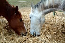 تغذیه اسب