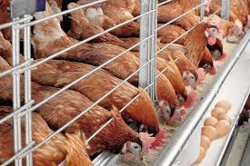 تغذیه مرغ تخم گذار