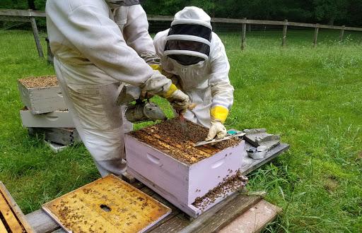 نژاد یا دورگه زنبور