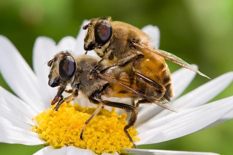 جفتگیری پرورش ملکه زنبور عسل