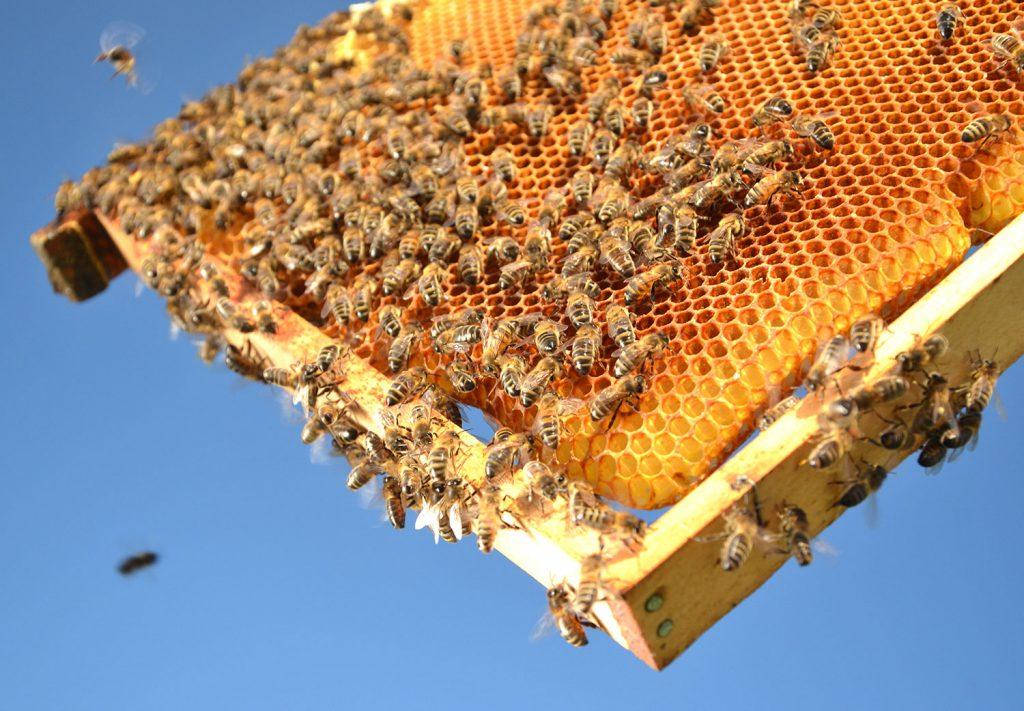 عسل توسط شهد و گرده زنبوران در تابستان