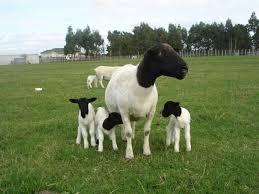 دورپر یکی از بهترین نژاد گوسفندان خارجی