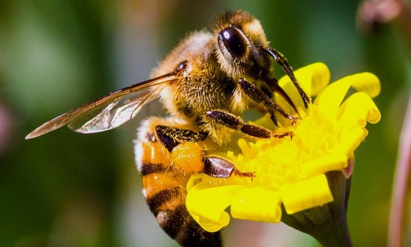 نژاد زنبور ایرانی