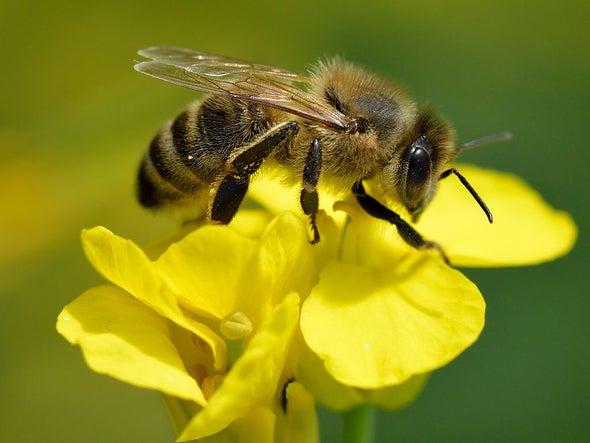 زنبور بزرگ