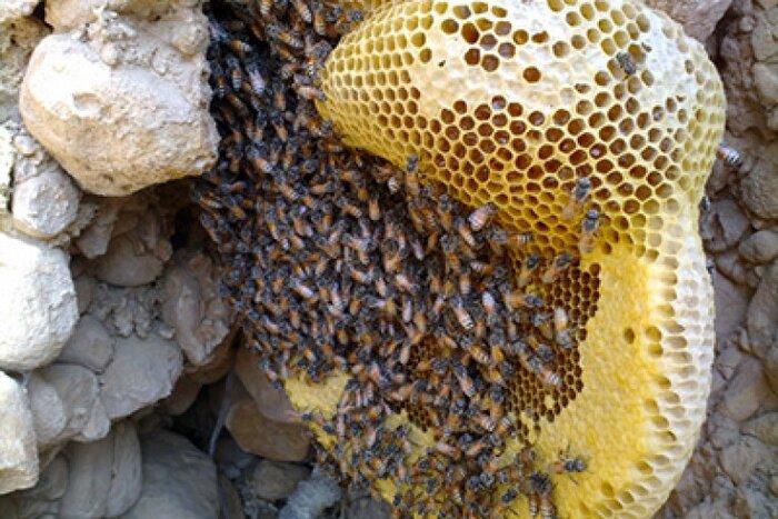 ساخت شان توسط نژاد زنبور عسل کوچک