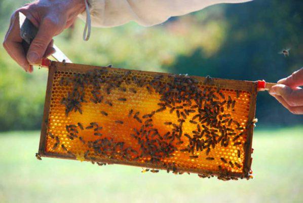 شان عسل با شهد و گرده زنبوران در تابستان
