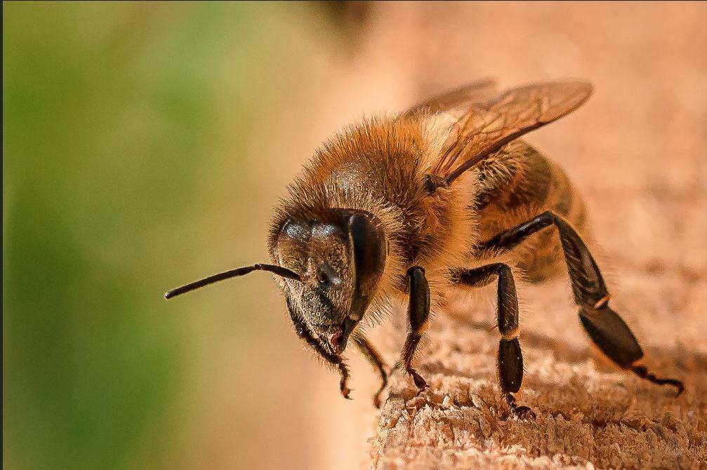 غده شیری غده های زنبور عسل