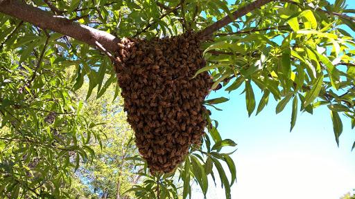 فصل پرورش نوزادان زنبور عسل