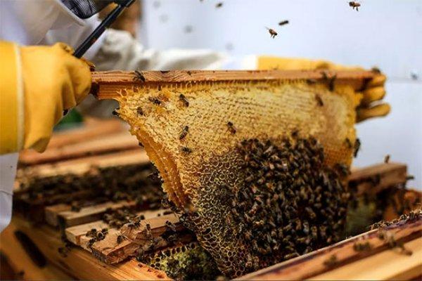 محل زنبور های عسل