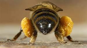 غده های زنبور عسل