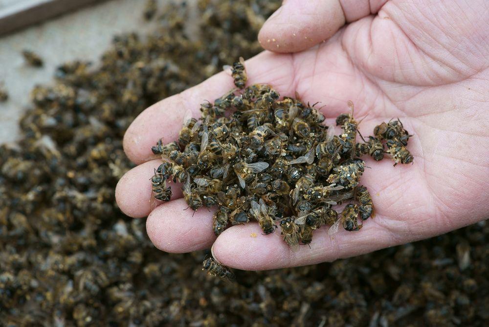 مرگ زنبور