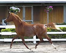 مشخصات و اندام اسب عرب