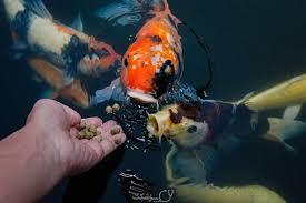 نیازهای غذایی ماهی آکواریوم