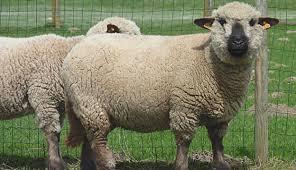 همشایر بهترین نژاد گوسفند خارجی