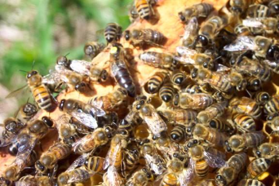 زنبور عسل هندی یا شرقی