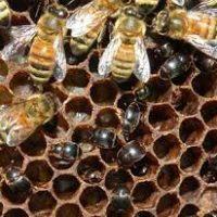 بیماری لوک آمریکایی زنبور