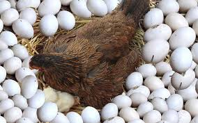 ویتامین D در مرغ تخمگذار
