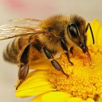بدن زنبور