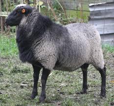گوسفند رومانوف یکی از بهرین نژاد گوسفندان خارجی