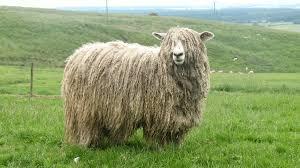 گوسفند لینکلن