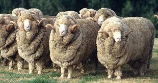 گوسفند مرینوس