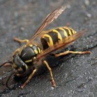زنبور های جدید