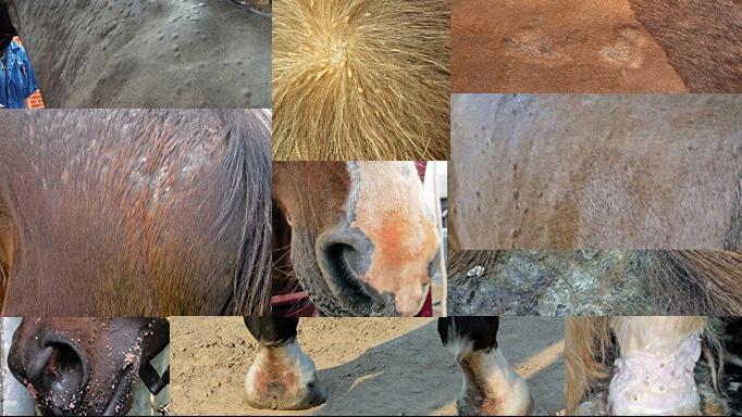 بیماری های پوستی اسب